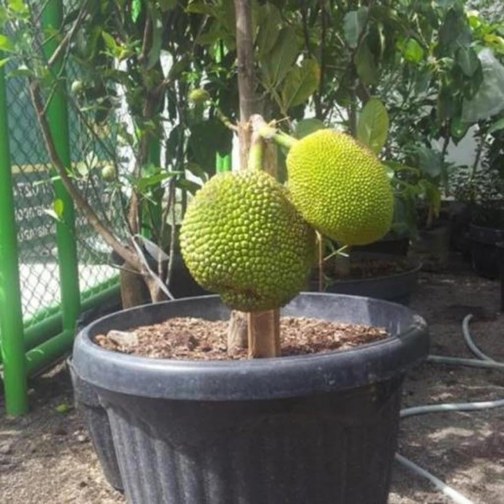 bibit nangka mini benih pohon tanaman buah okulasi unggul bisa untuk tabulampot taman Banten