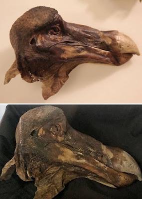 Oxford Dodo head