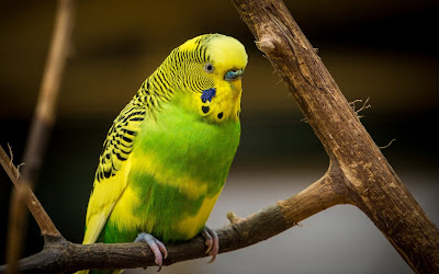 green and yellow parrot widescreen resolution hd wallpaper
