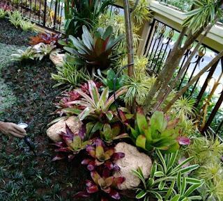 Bromelia untuk taman