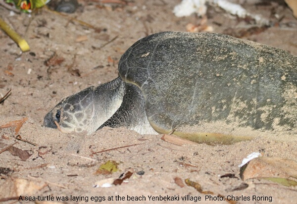 Olive ridley sea turtle was laying eggs