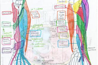 Aprenda anatomia com desenhos esquemáticos: Membro Superior