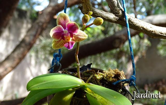 Como cultivar mini phalaenopsis no coco