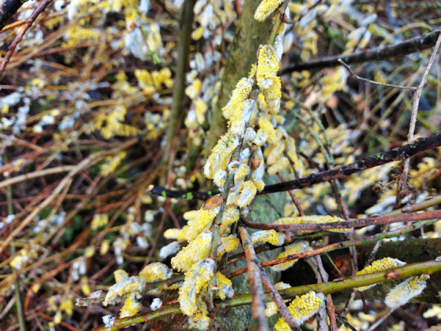 Close up of catkins on the willow tree
