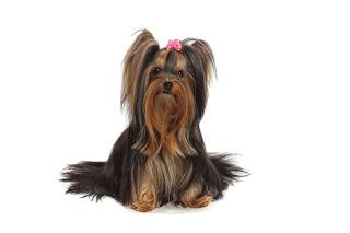 Cães da raça Yorkshire têm predisposição genética a doenças de pele