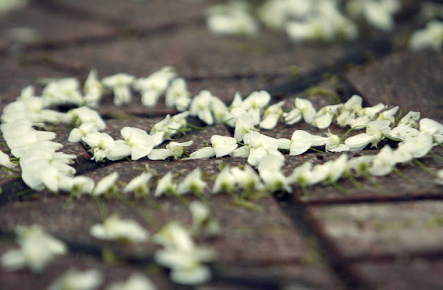Hanoi's streets dotted with early white Dalbergia tonkinensis flowers 5