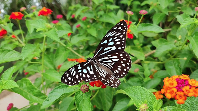 Black Butterfly Royalty-Free Images | Non-Copyrighted Photos