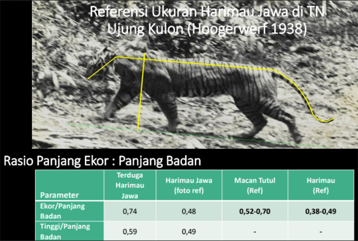morfologi harimau jawa
