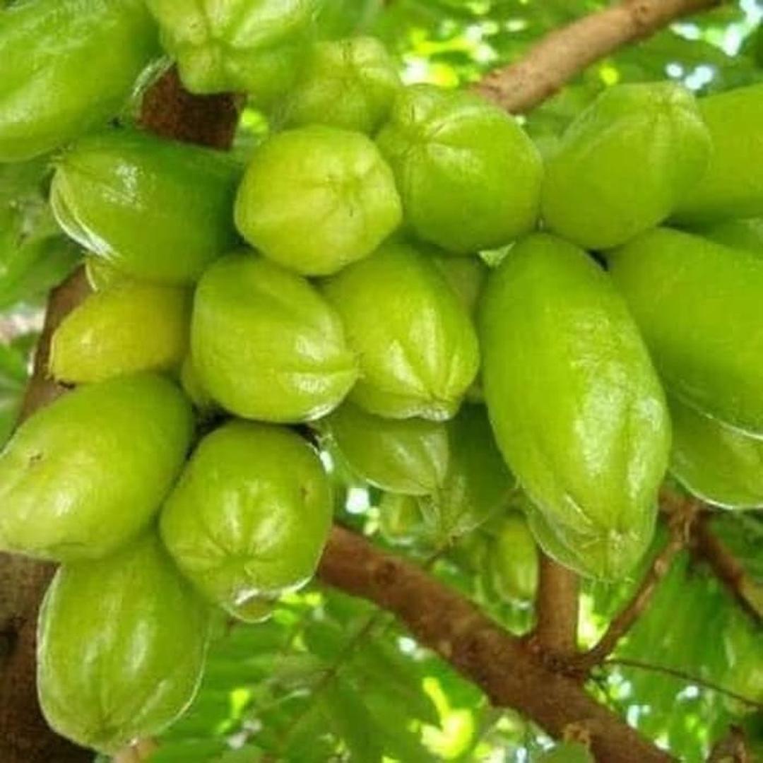 Stok banyak! Bibit buah blimbing wuluh blimbing sayur Kota Bekasi #bibit