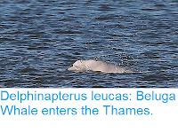 https://sciencythoughts.blogspot.com/2018/09/delphinapterus-leucas-beluga-whale.html