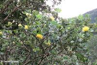 Yellow 'Ohi'a shrub - Lyon Arboretum, Manoa Valley, Oahu, HI