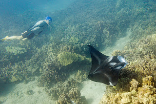 http://www.tropicallight.com/swim1/24nov19mantas/24nov19mantas.html