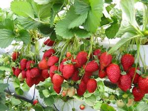 Manfaat Plastik Uv - Cara Budidaya Strawberry Hidroponik, Gampang Dan Efisien