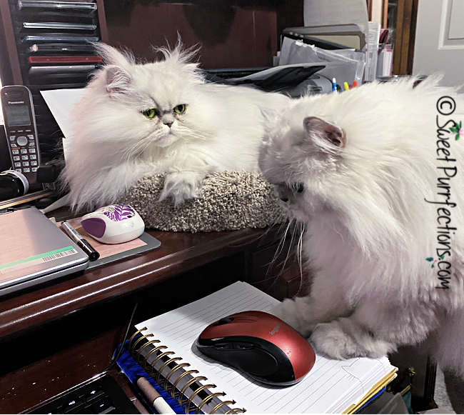 two silver shaded Persians in front of computer