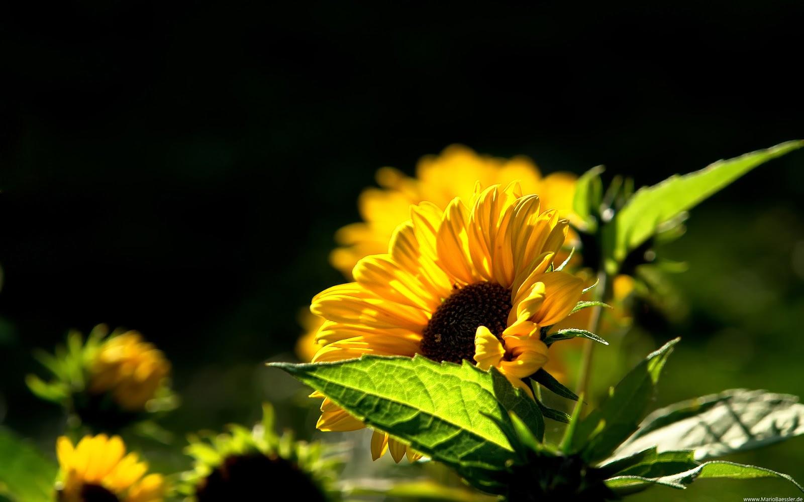 Sunflower Wallpaper Desktop - Mobile wallpapers