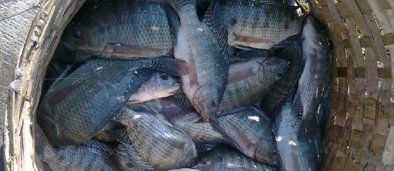 Cara Memasarkan Ikan Nila Hasil Budidaya