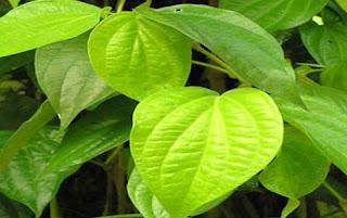 20 Obat Asam Lambung Herbal, Obat Tradisional Tanpa Dokter