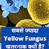 Yellow Fungus Kya Hai   Yellow Fungus के लक्षण   Yellow Fungus कैसे फैलता है?