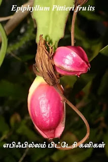 Epiphyllum Pittieri fruits