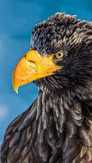 Eagle Mobile HD Wallpaper