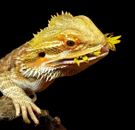 What does Bearded Dragon eat
