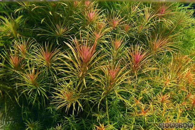 Vẻ đẹp của cây thủy sinh dừa sing