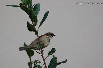 Gorrión común - Passer domesticus