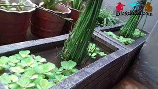 Tanaman hias bambu air Pembawa keberuntungan