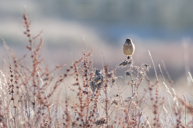 The Female Stonechat searching the weeds.