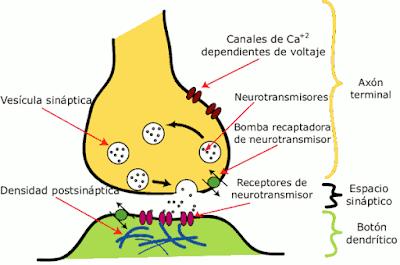 sinapsis-neuronal