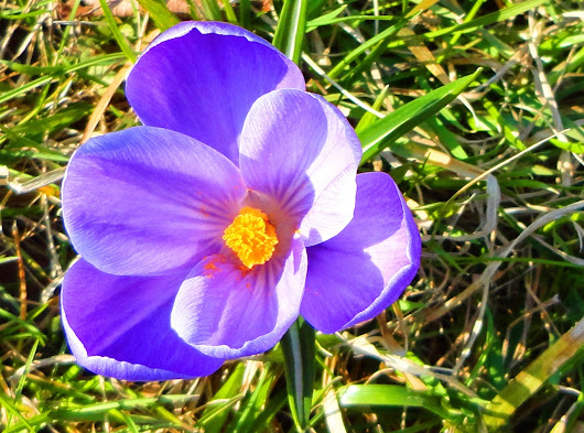 Crocuses Through My Lens
