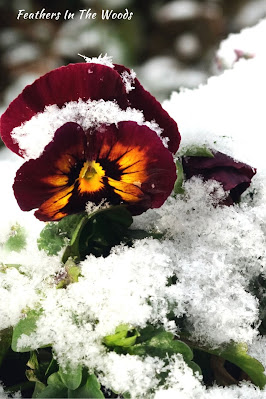 Pansy flower growing in snow