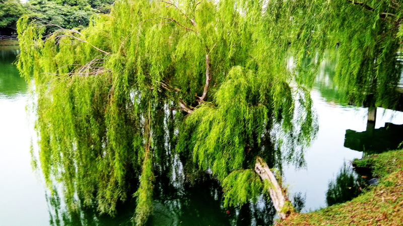 Mobile Photography: Weeping Willows 05