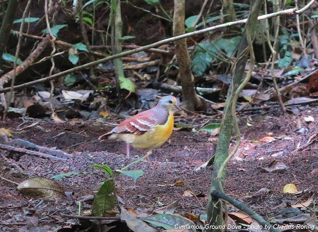 Cinnamon Ground Dove in Arfak mountains