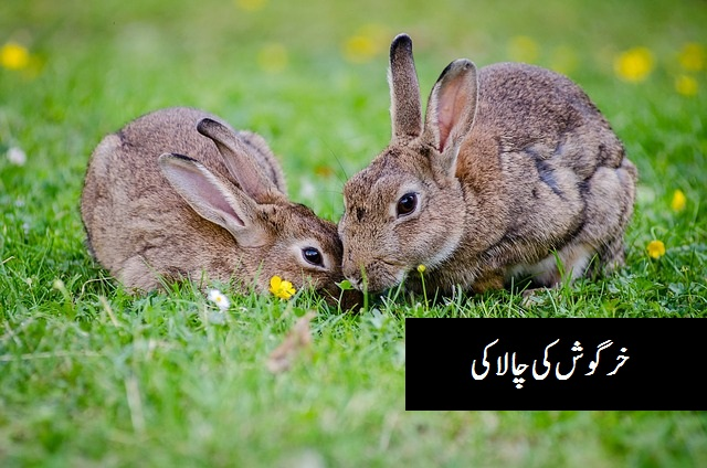 خرگوش کی  چالاکی Urdu stories for kids