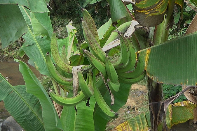 Dlium Plantain (Musa paradisiaca)