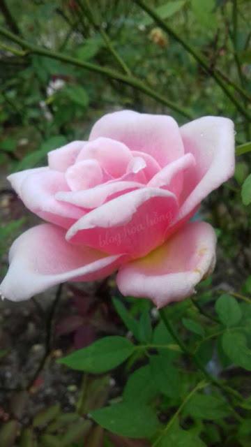 hoa hồng leo nữ hoàng màu hồng và có hương thơm mạnh
