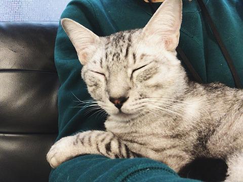 猫カフェ肉灸のレイくん(エジプシャンマウ)