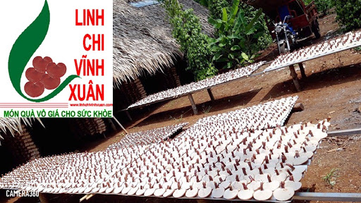 Trại Nấm Linh Chi Đỏ Vĩnh Xuân - Liên Hệ: 0902568750