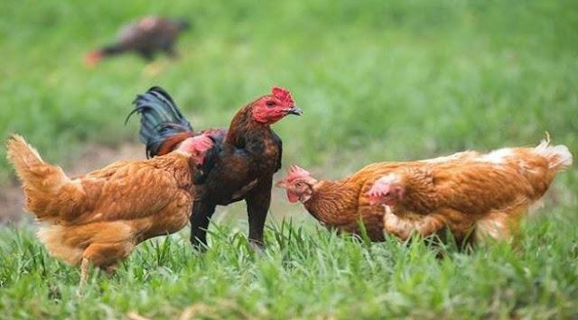 Gara-Gara Bulum Ayam, Polisi Ini Berhasil Ungkap Kasus Pembunuhan