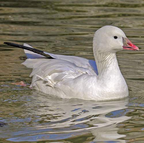 Bird World - Image of Ross's goose - Anser rossii