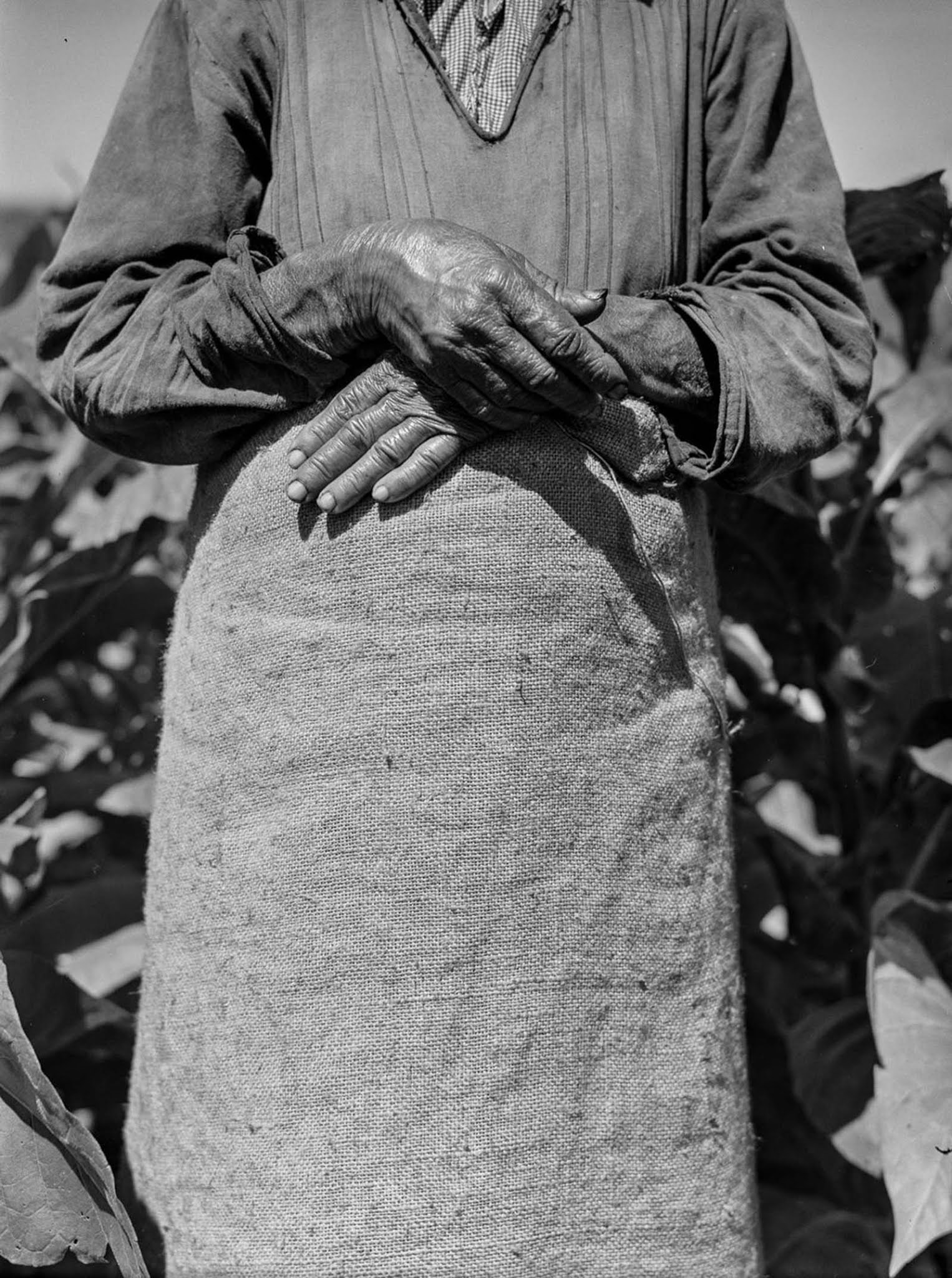 A woman working in a tobacco field near Barranquitas.