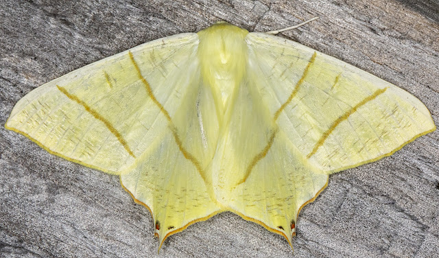 Swallow-tailed Moth, Ourapteryx sambucaria.  In my garden light trap set on 22 June 2018
