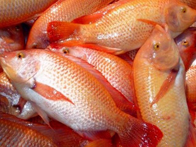 Tempat Supplier Jual Ikan Nila Bibit dan Konsumsi di Mamuju, Sulawesi Barat