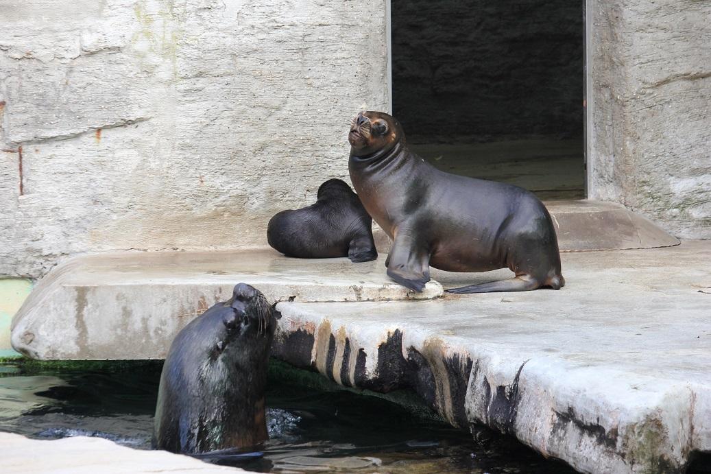 lachtaní rodina v zoologické zahradě Schönbrunn