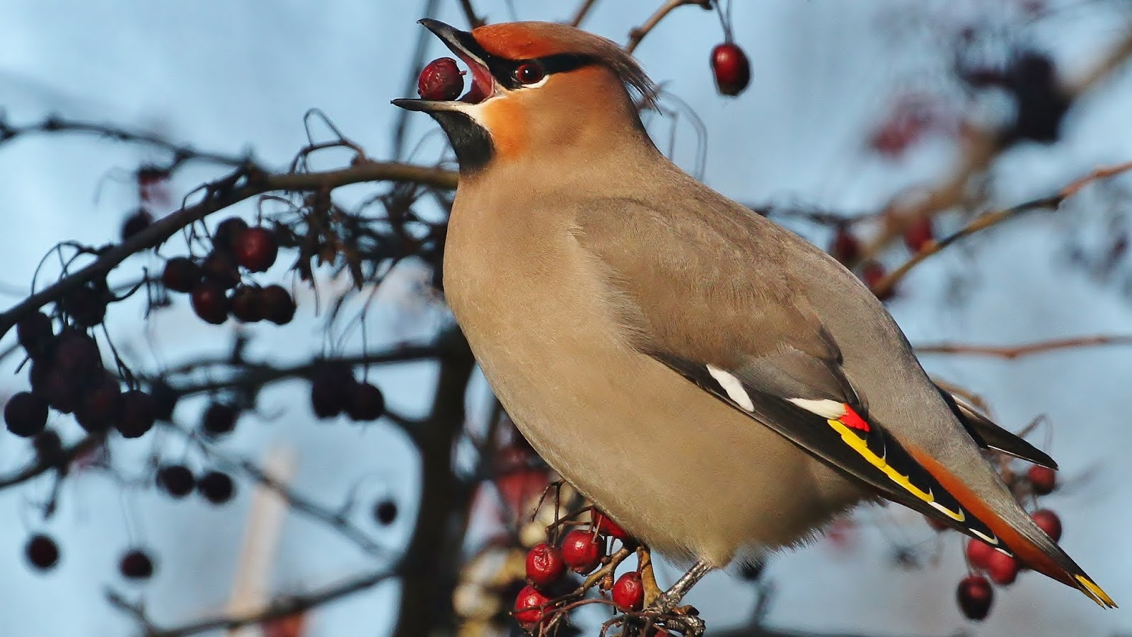 The Bohemian Waxwing most beautiful birds in the world