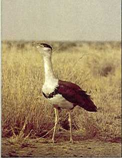 Great Indian Bustard, Ardeotis nigriceps