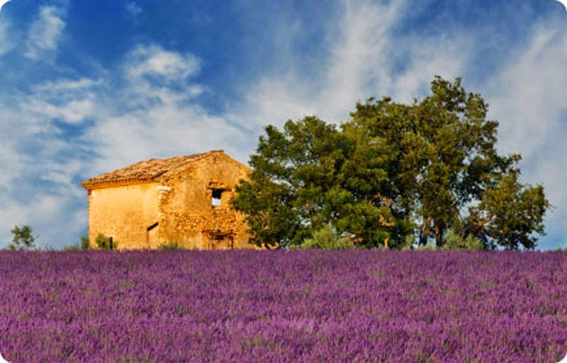 Fun Facts About Lavender Flowers - 20 Stunning Pictures Of Lavender Fields In France