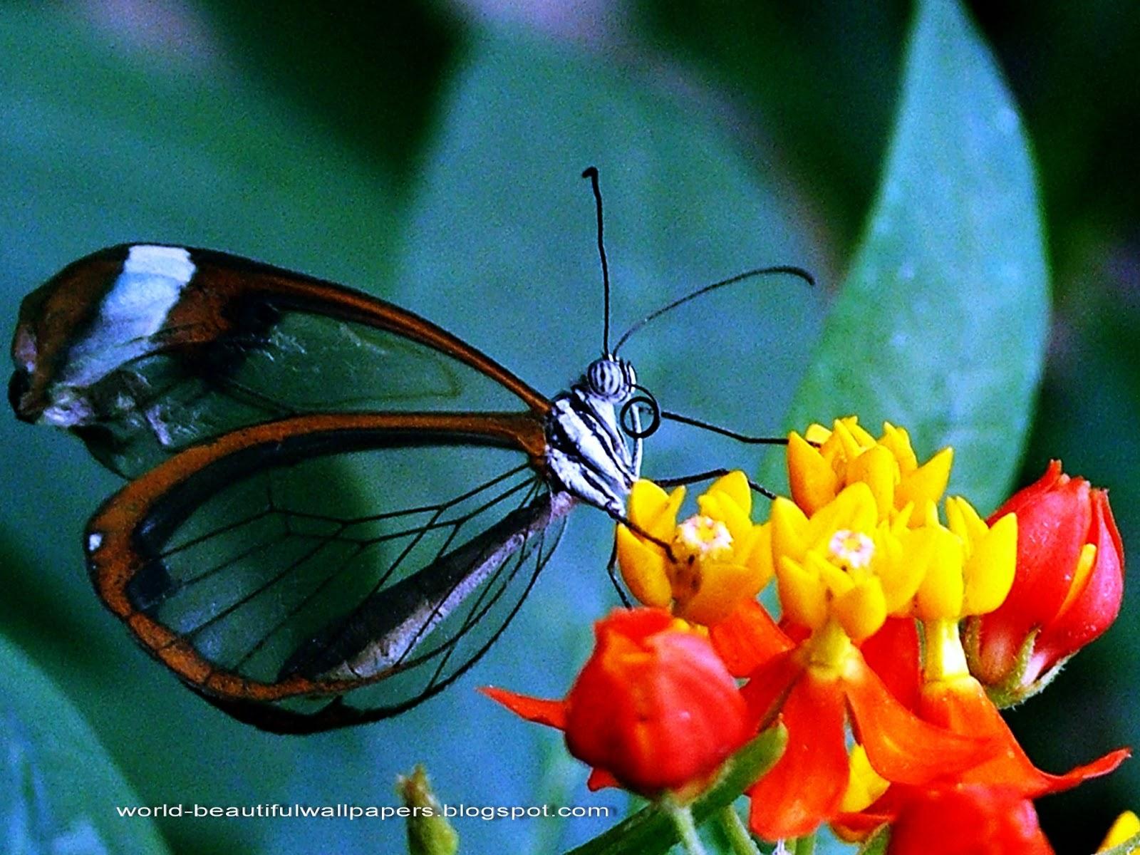 Beautiful Wallpapers: Beautiful Butterflies Wallpaper