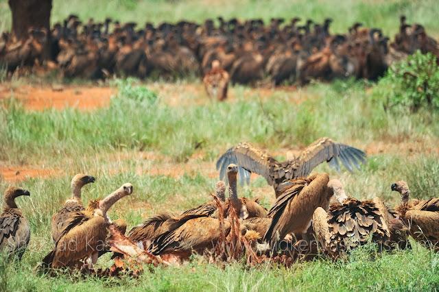 Vultures Kenya, International Vulture Awareness Day, Wild Kenya Safaris, www.wildkenyasafaris.com, Wildlife Diaries, Birds of Kenya, Tsavo East, Shazaad Kasmani, endangered vultures in kenya